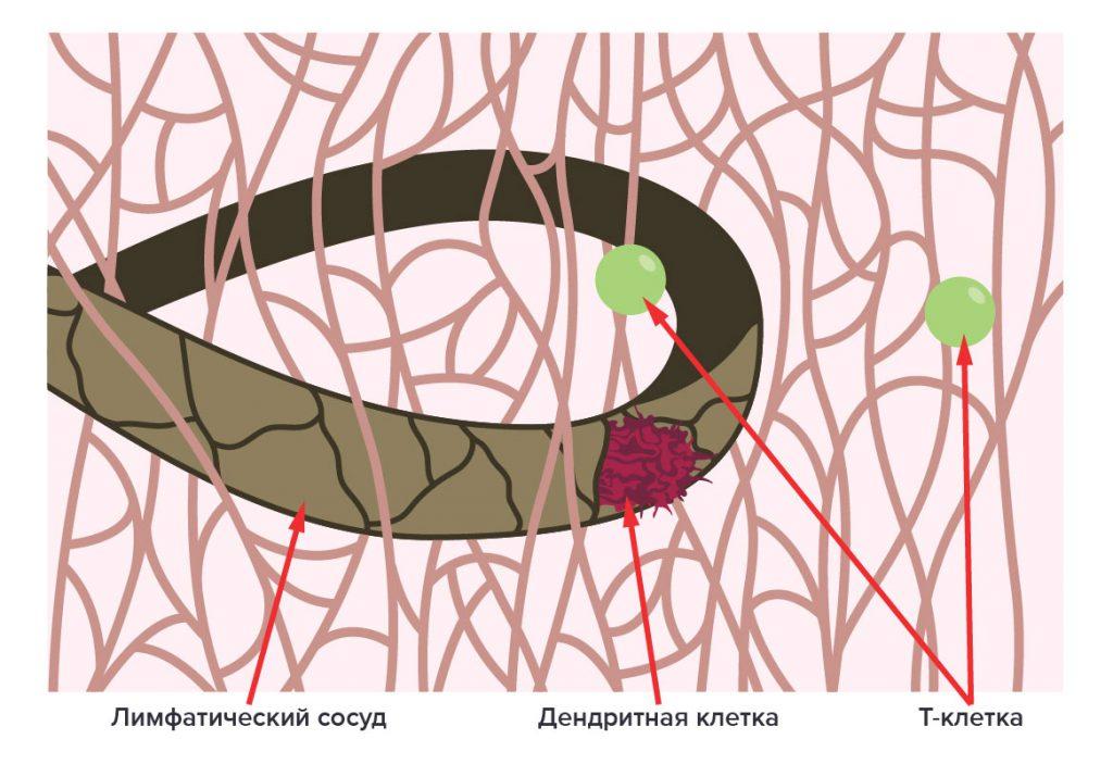 Дендритные клетки и лимфоциты в сосудах