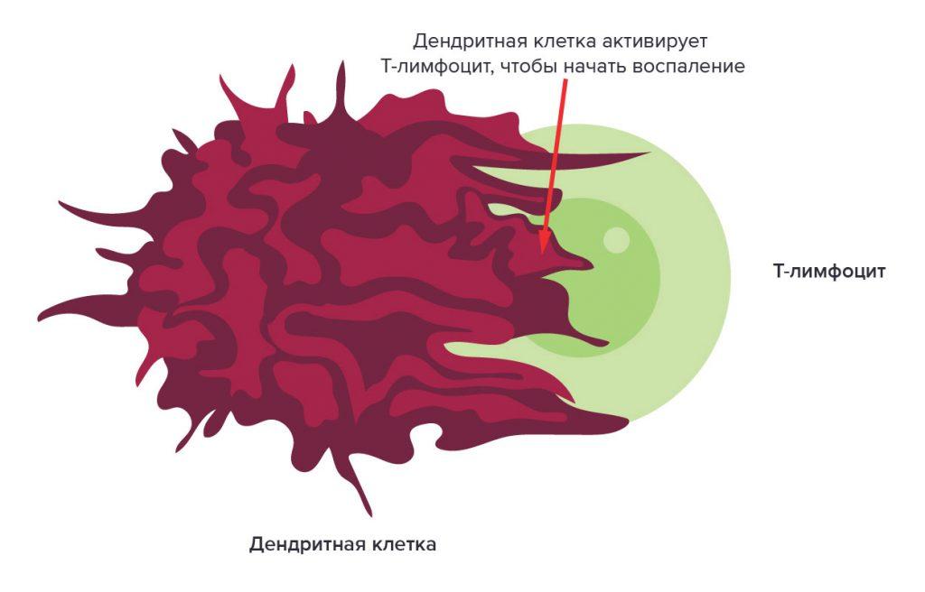 Дендритная клетка активирует Т-лимфоцит, чтобы начать всопаление